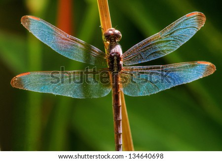 close-up dragonfly - stock photo