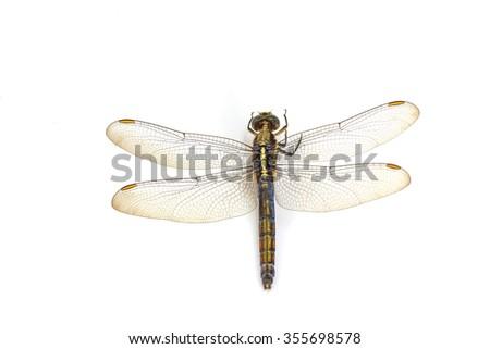 close up dragonfly macro isolated on white background - stock photo