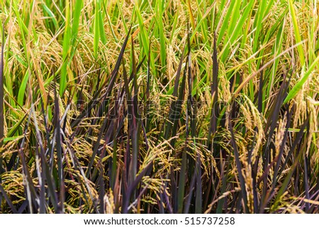 Close up ear of paddy or rice in organic field, agriculture concept