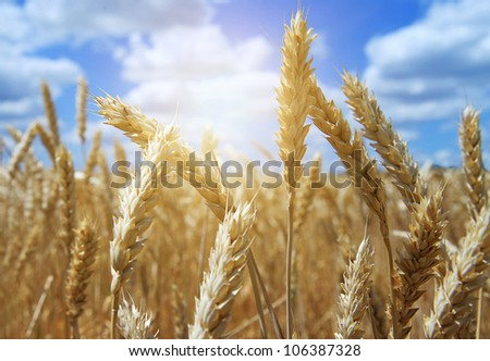 Close Up Ear of Wheat with blue Sky Background and White Clouds