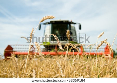 close-up ears of wheat at field and harvesting machine on background. Combine out of focus - stock photo