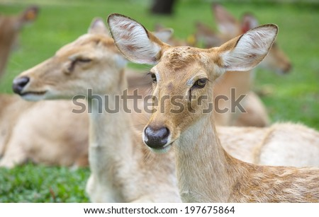 close - up Eld s Deer in wild nature