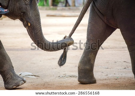 Close up elephant trunk holding the tail of another elephant ,Lampang ,Thailand. - stock photo