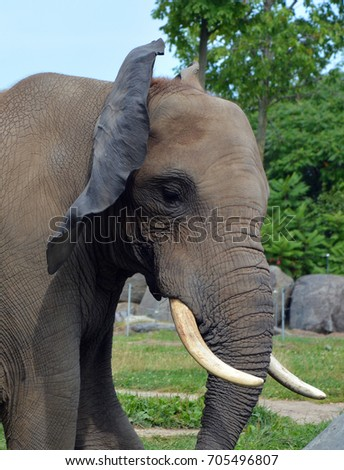 Close up Elephants are large mammals of the family Elephantidae and the order Proboscidea. Two species are traditionally recognised, the African elephant and the Asian elephant