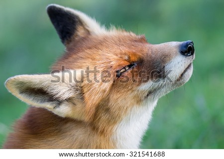 Close up European red fox - stock photo