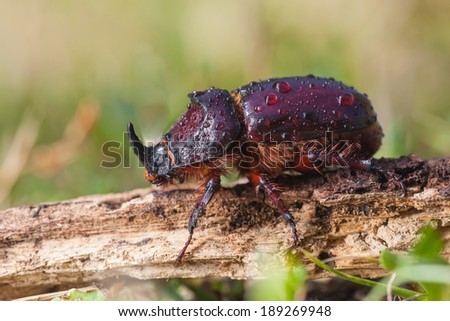 Close up European Rhinoceros Beetle (Oryctes nasicornis) in Natural Habitat - stock photo