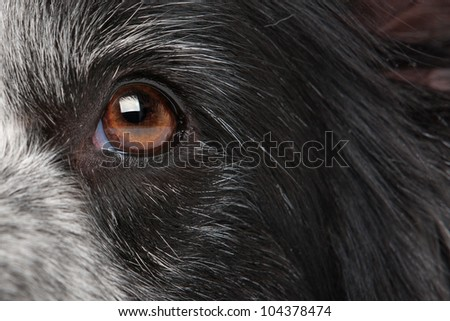 close-up eye from a border collie dog - stock photo