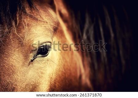 Close-up eye of Arabian bay horse on dark - stock photo
