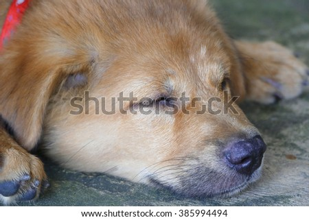 Close-Up Face Cute Adorable Little Brown Puppy Dog Sleeping - stock photo