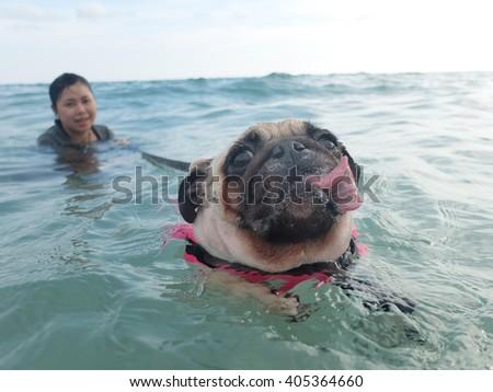 Close-up face cute dog puppy pug fear and afraid water swim on beach, Koh Kood island, Trat province, Thailand. - stock photo