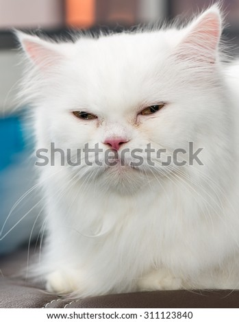 Close up face cute white Persian cat