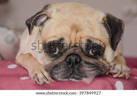 Close up face of cute dog pug puppy sleeping with snot of cold and looking to camera