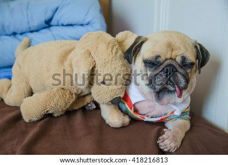Close up face of cute dog puppy pug sleep rest tongue out with her brother dolls on bed