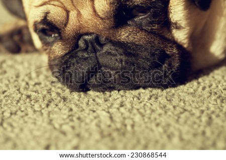 Close up face of Cute pug puppy dog sleeping in sunshine, Sleep packground