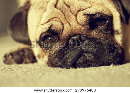 Close up face of Cute pug puppy dog sleeping in sunshine, Sleep packground - stock photo