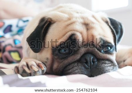 Close up face of Cute pug puppy dog sleeping on the bed - stock photo