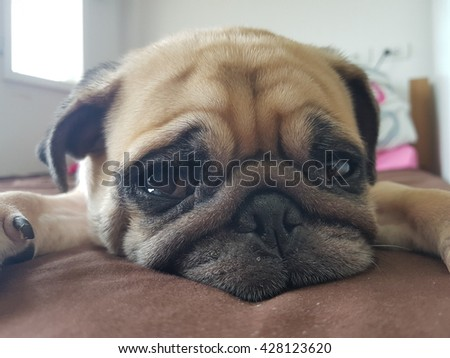 Close up face of Cute puppy pug dog sleeping on bed in lazy time. - stock photo