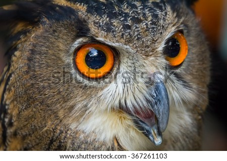 Close up face of European eagle owl, Big orange eyes and Strong beak.