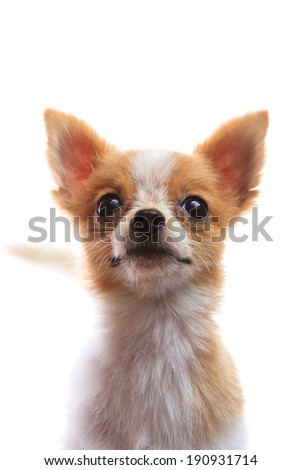 close up face of fancy pomeranian dog puppy isolated on white background - stock photo