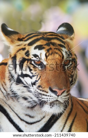 close up face of indochinese tiger use for animals and wild life theme