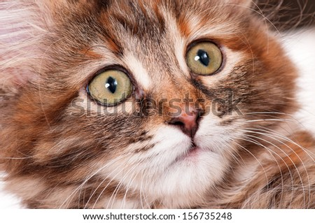 Close up face of kitten, 2 months old - stock photo