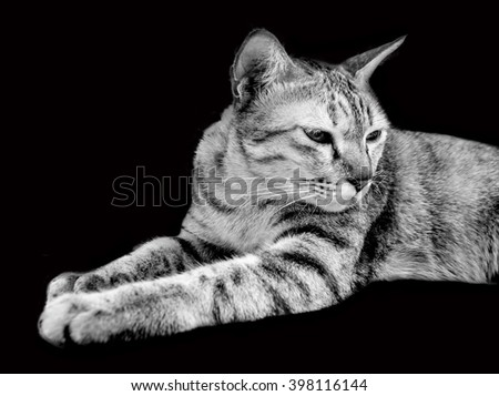 close up face of tiger white cat in top body on dark background isolate  - stock photo