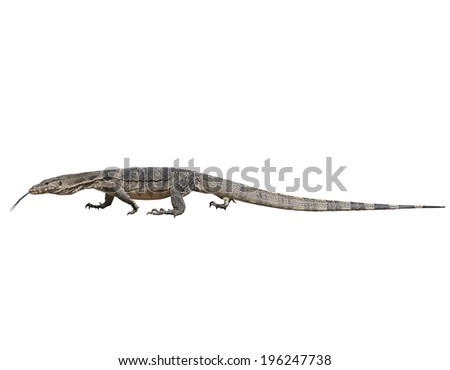 close up face of Water monitor  Varanus salvator isolated white background