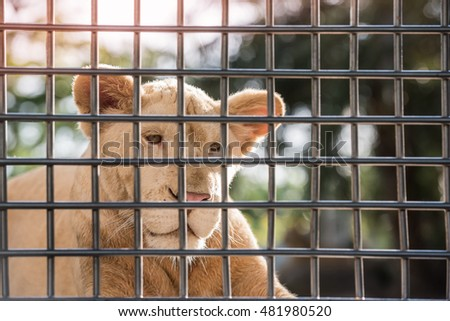 close-up, Face of white lion in cage