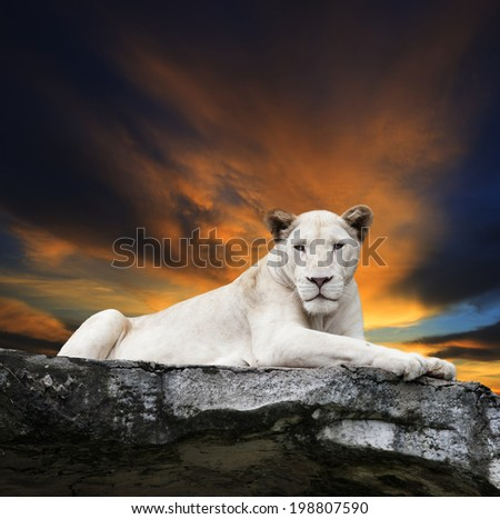 close up face of white lioness,lion lying on rock cliff against beautiful dusky sky - stock photo