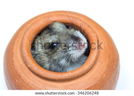 Close-up face of Winter White Russian Dwarf Hamster out of mini jar. - stock photo