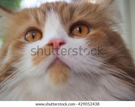 Close up Face Shot of Bi Color Orange Long Haired Doll Face Traditional Persian Cat with Bright Orange Eyes and Long Whiskers - stock photo