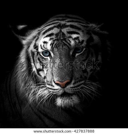 close-up face White tiger isolated on black background - stock photo