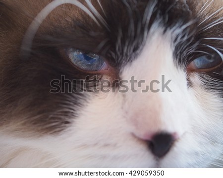 Close up Facial Macro of Bi Color Brown White Ragdoll Cat with Blue Eyes and Black Button Nose and Long Whiskers - stock photo