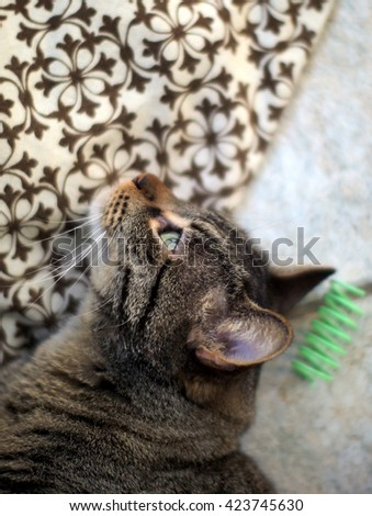Close Up Facial Portrait of Domestic Short Hair Brown White Tabby Cat with Stripes Resting Head on Checkered Pillow with Green Rolling Cat Toy - stock photo
