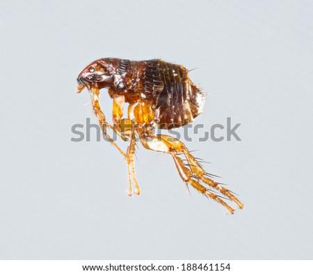 Close up female ctenocephalides felis or cat flea isolated on gray background - stock photo