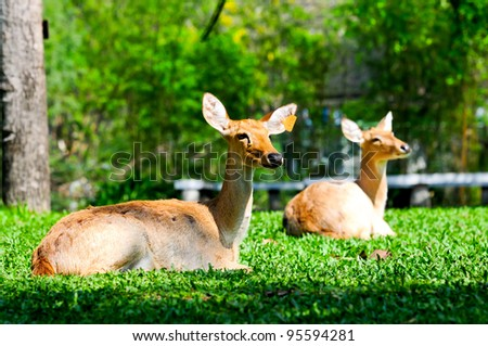 Close up Female Deer on relaxing - stock photo