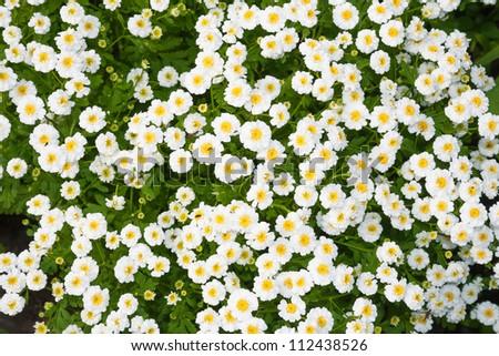 Closeup flower bed white flowers stock photo royalty free royalty close up flower bed with white flowers mightylinksfo