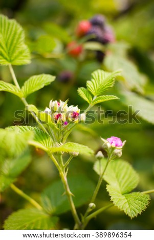 Close up flower black raspberry bunch of berries ripening on sunny day - stock photo