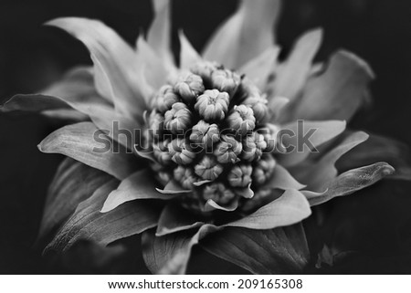 close up flower in black and white, shallow DOF - stock photo