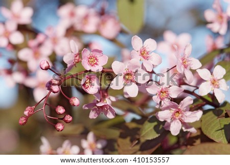 close up flowering branch of bird-cherry tree