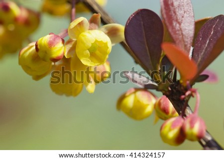 close up flowers of barberry