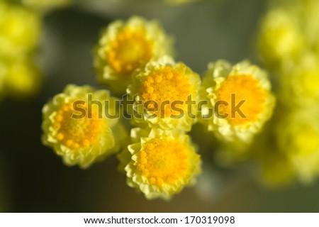 close-up flowers of Helichrysum arenarium - stock photo