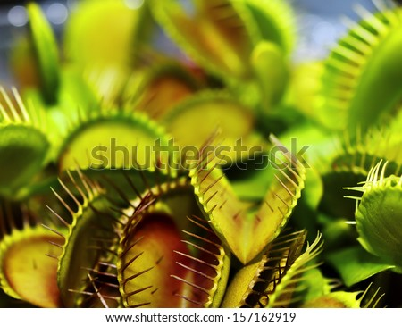 Close up Flytrap - Dionaea muscipula