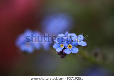 Close-up forget-me-not flower in soft light - stock photo