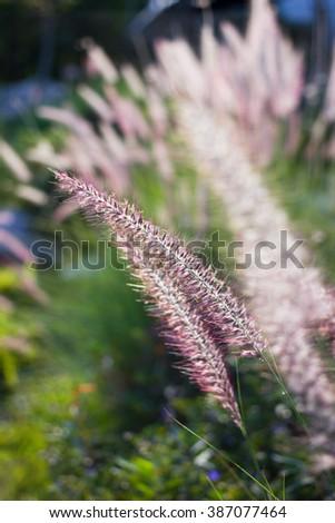 Close-up fountain grass gargen - stock photo
