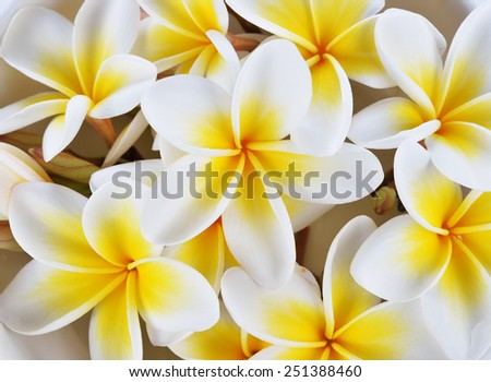 close up frangipani flowers for backgound - stock photo