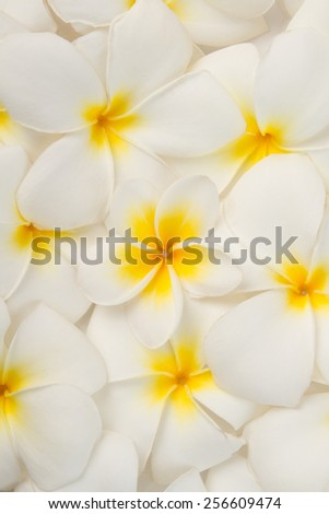 Close up Frangipani or plumeria flowers background. - stock photo