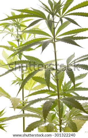 Close up Fresh Cannabis or Marijuana Plant Leaves for Psychoactive Drug or Medicine, Isolated on White Background - stock photo