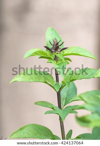 Close up fresh green basil and flower in garden