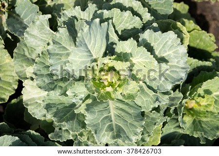 Close-up Fresh green Cabbage in farm